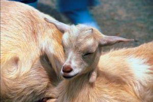 Goat Gone